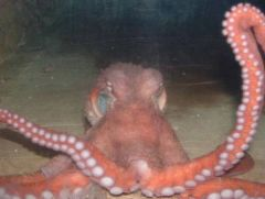 little giant octopus at the national zoo