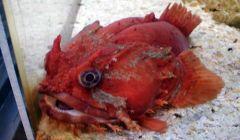 Mote Fish