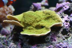Green Montipora plate from Alieu07 (5/17/08)