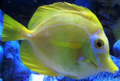 Yellow Tang Starboard