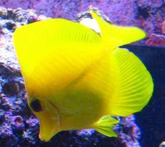 Yellow Tang Cropped