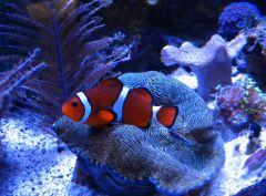 Clown & clam