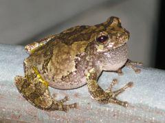 Cope's Gray Treefrog (adult)