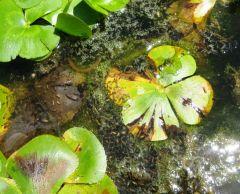 Frogspawn02