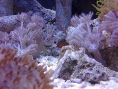 Pom-Pom Among Corals