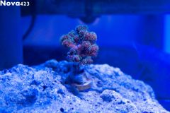 New coral frag from Quantum Reefs
