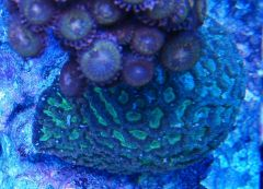 Tank From The Top 014   Green Favia, Zoas