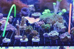 C-grade corals