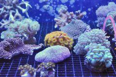 A-grade corals