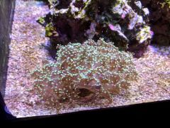 120g golden frogspawn