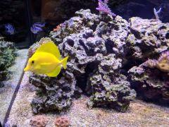 120g yellow tang