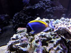 120g powder blue tang