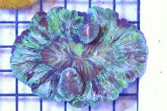 Green Wellsophyllia