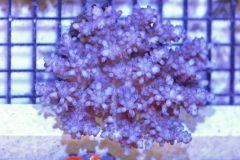 Blue Acropora