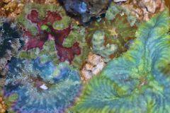 Mini Maxi Carpet Anemones