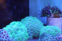 Dr. Mac Bubble Corals