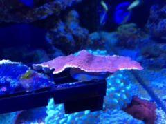 Reef tech Starburst