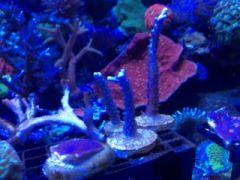 Reefgen Cerulean Blue Stag