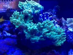 Neon Green Sinularia