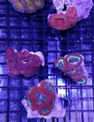 Ultra-Grade blastos