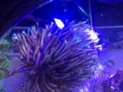Corals 4 sale Flower Pot Coral (Goniopora sp.) Purple