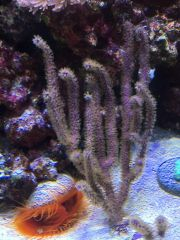 Gorgonian and Flame scallop